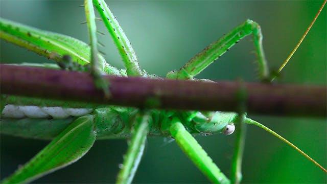 Thumbnail for Grasshopper on flower stem