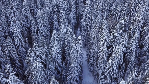Thumbnail for Pine Trees Covered with Snow with a Copter