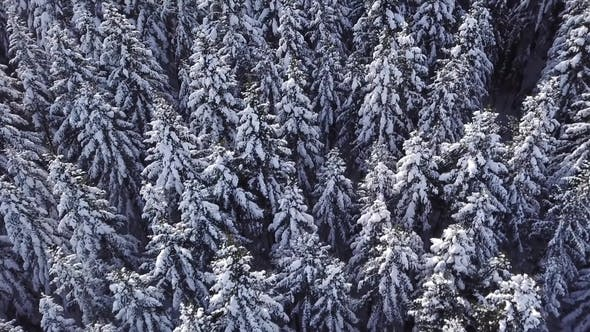 Thumbnail for Winter Coniferous Forest with a Copter. View From Above. Aerial View