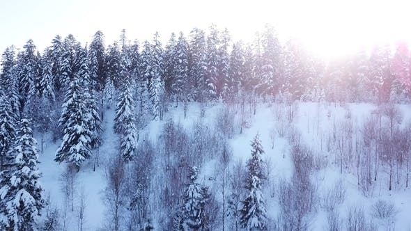 Thumbnail for Winter Coniferous Forest. Aerial View
