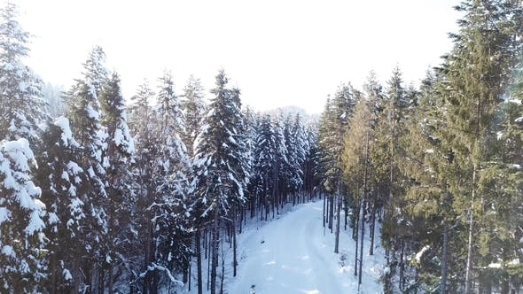 Thumbnail for Pine Winter Forest. Aerial View