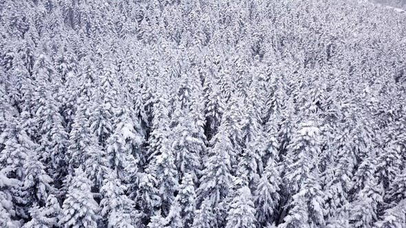 Thumbnail for Pines Are Snow Covered Shooting with Copter