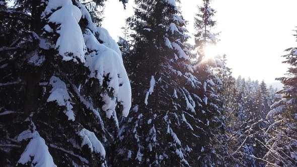 Thumbnail for Coniferous Forest at Sunset. Aerial View