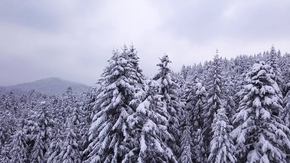 Thumbnail for Winter Coniferous Forest