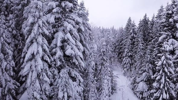 Thumbnail for Pines Are Snow Covered  Aerial View