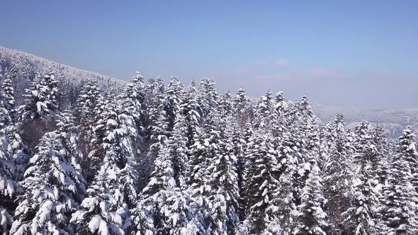 Thumbnail for Winter Coniferous Forest . View From Above. Aerial View
