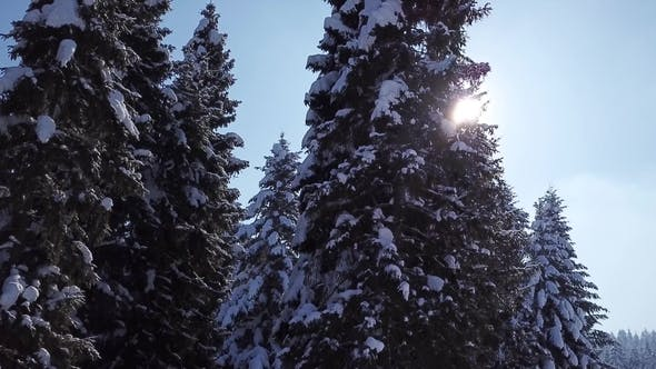 Thumbnail for Pines Are Snow Covered . View From Above. Aerial View