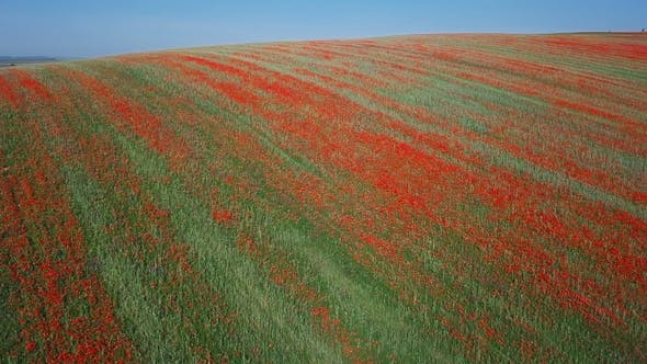 Thumbnail for Aerial View of Poppy Hills in Moravia, Czech Republic