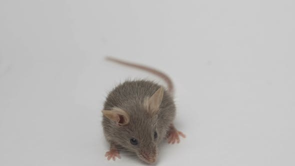 Thumbnail for Cute Little Mouse on a White Background