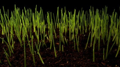 Germinating Sprouts of Wheat.