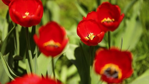 Thumbnail for Opened Tulip on a Green Background in