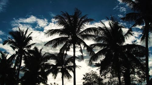 Silhouettes of Palm Trees on Blue Sky and White Clouds Background. Coconut Palm Trees on Summer