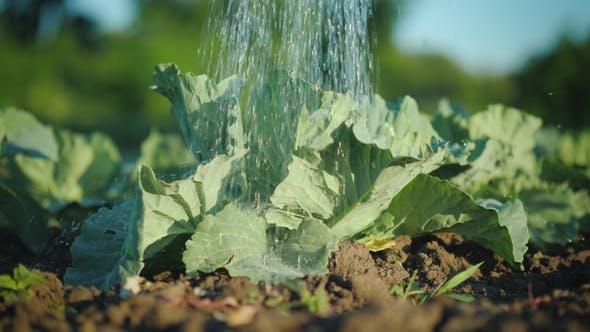 Thumbnail for Wasserstrahlen gießen Kohl im Garten