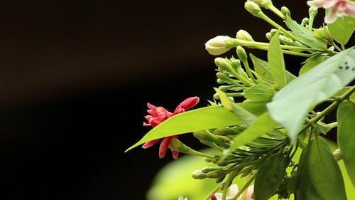 Rangoon Creepers Flower Bud