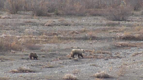 Thumbnail for Grizzly Bear Female Adult Young Family Foraging Looking For Food in Autumn Blond Sow Cubs Yearlings