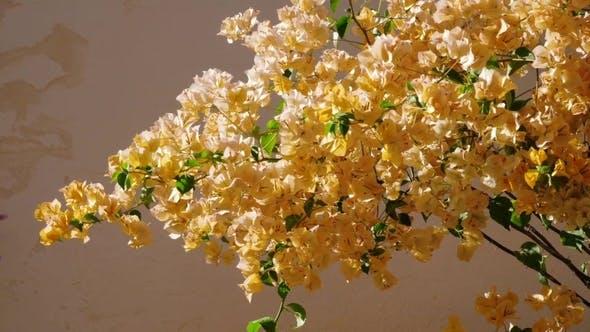 Thumbnail for Blooming Beige Oleander . Oleander Flowering with Beautiful Beige Flowers