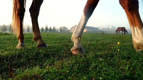 Horses Legs on Green Grass at Farm Ranch Horse Grazing on Pasture