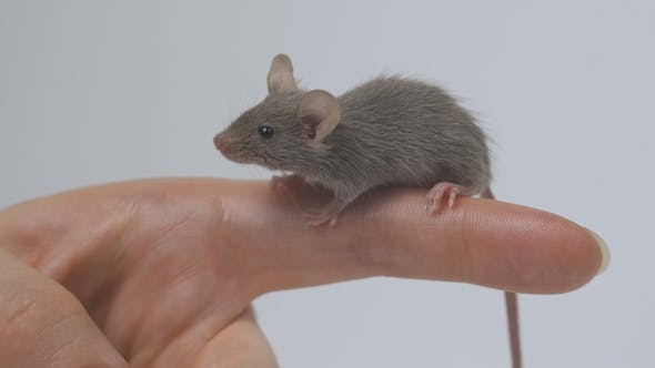 Thumbnail for Animal Domestic Gray Mouse