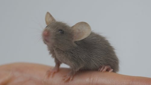 Animal Domestic Gray Mouse