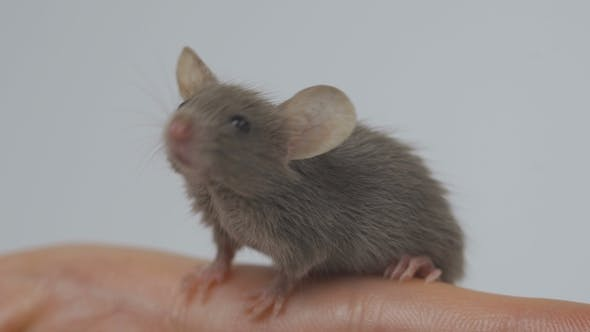 Animal Domestic Gray Mouse