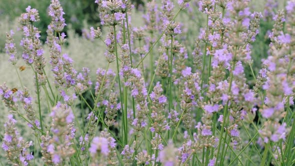 Thumbnail for Bees Fly Pollinating Flowers of Lavender Plants in Field