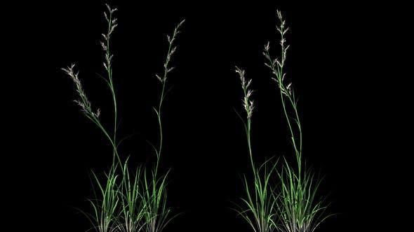 Thumbnail for 4K Deschampsia Plant Growing Timelapse