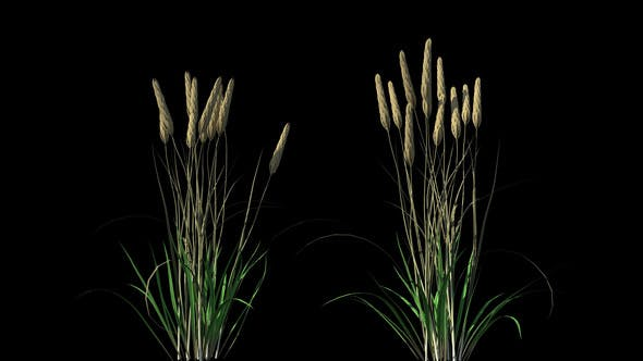 Thumbnail for 4K Wheat Plant Growing Timelapse with Alpha Matte