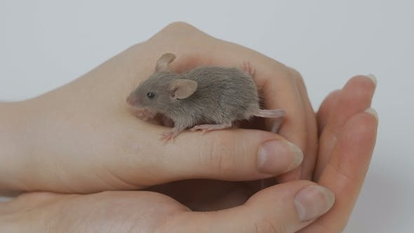 Thumbnail for Small Grey Mouse in Woman's Hand. Woman Holds the Mouse
