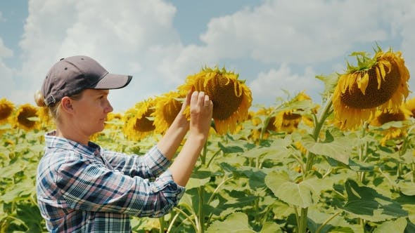 Thumbnail for A Woman Farmer Is Studying the Sunflower Flower Carefully Home Farm Organic Products