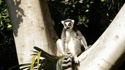 Ringtail Lemur in a Tree
