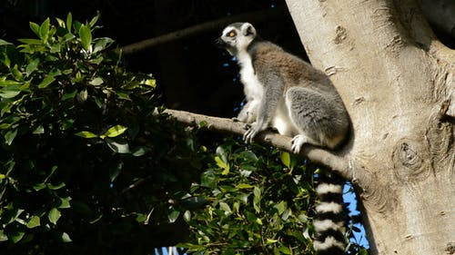 Ringtail Lemur Looking Around