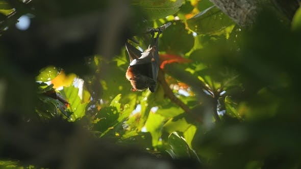 Thumbnail for Flying Fox Hanging on a Tree Branch and Washing Up