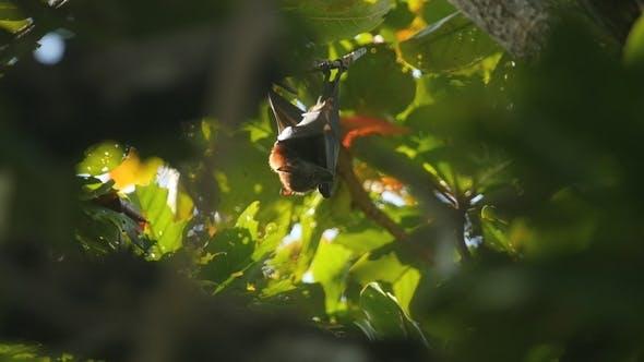 Thumbnail for Fliegender Fuchs Hängen auf einem Baum Zweig und Abwaschen