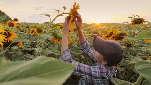 A Young Woman Farmer Checks the Readiness of a Sunflower To Harvest in the Rays of the Setting Sun