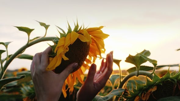 Cover Image for A  of a Beautiful Sunflower, a Girl Farmer Checks the Availability of Seeds and Crops for Harvesting