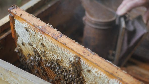Thumbnail for Working Bees Work Honeycomb with Honey. Beekeeper Pulls Out the Frame with Honey. Beekeeper Gets a
