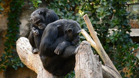 Chimpanzee Monkeys Sitting in a Tree