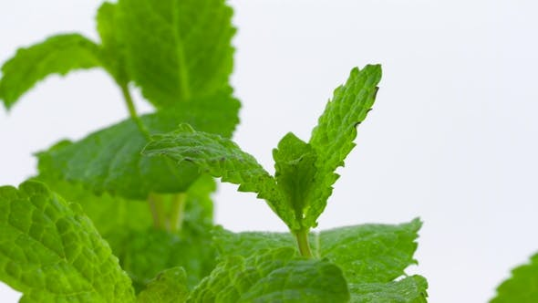 Thumbnail for of Rotating Mint Leaves Isolated on the White Background