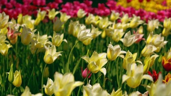 Tulipes étoilées jaunes et blanches en fleurs