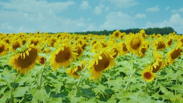 Cover Image for Field of Yellow Sunflowers Against the Blue Sky with Beautiful Clouds