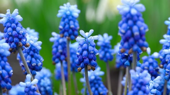 Thumbnail for Blue Flowers Muscari with Raindrops