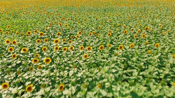 Thumbnail for AERIAL: Flight Over Small Young Sunflower Field. Agroculture, Harvest Concept. Ukraine Is the World