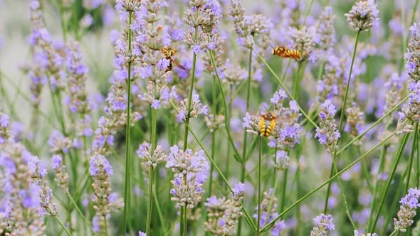 Bees Fly Pollinating Flowers of Lavender Plants in Field. , . Provence. Dolly Shot.