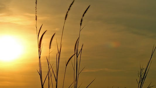 Cover Image for Lalang Grass At Sunset II