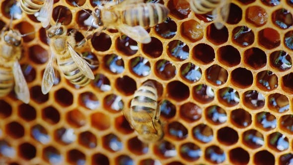 Thumbnail for The Bees Work at the Hive on the Honeycomb
