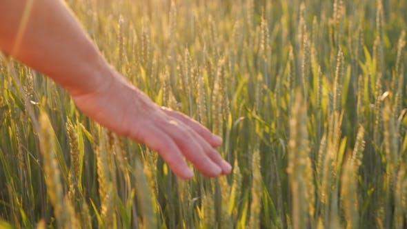 Cover Image for The Hand of an Elderly Woman Looks at the Spikelets of Green Wheat