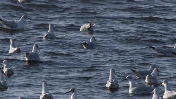 Troupeau De mouettes Natation Dans L'Eau De L'Océan Bleu Au Ralenti