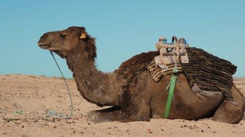 Bedouin Camel on Sand in Desert