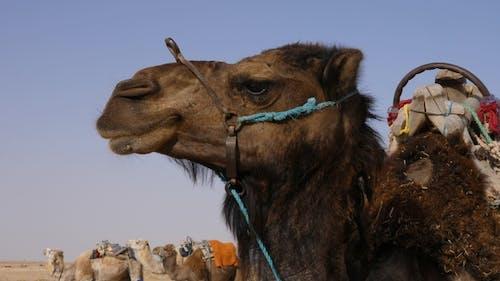 Head of Brown Camel in Wild Desert . Muzzle of Camel in Sahara Desert