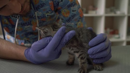Professional Veterinarian Examines the Snout of a Small Kitten